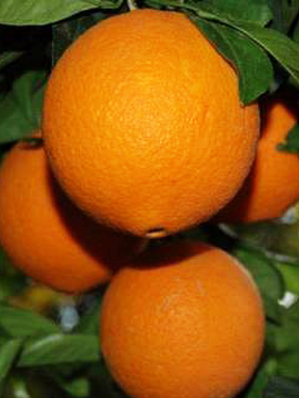 Arancio Navellino
