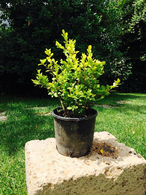 Bosso buxus rotundifolia vendita online for Bosso vaso