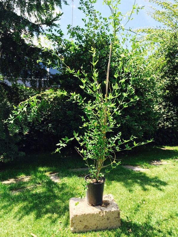 Gelsomino giallo jasminum vendita online for Piante rampicanti ornamentali