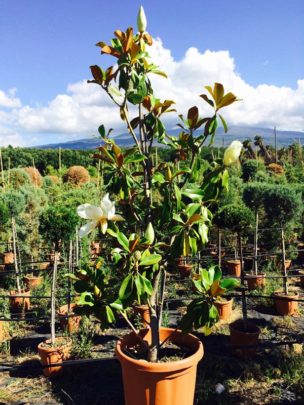 Magnolia grandiflora cespuglio vendita online for Pianta nocciolo prezzo