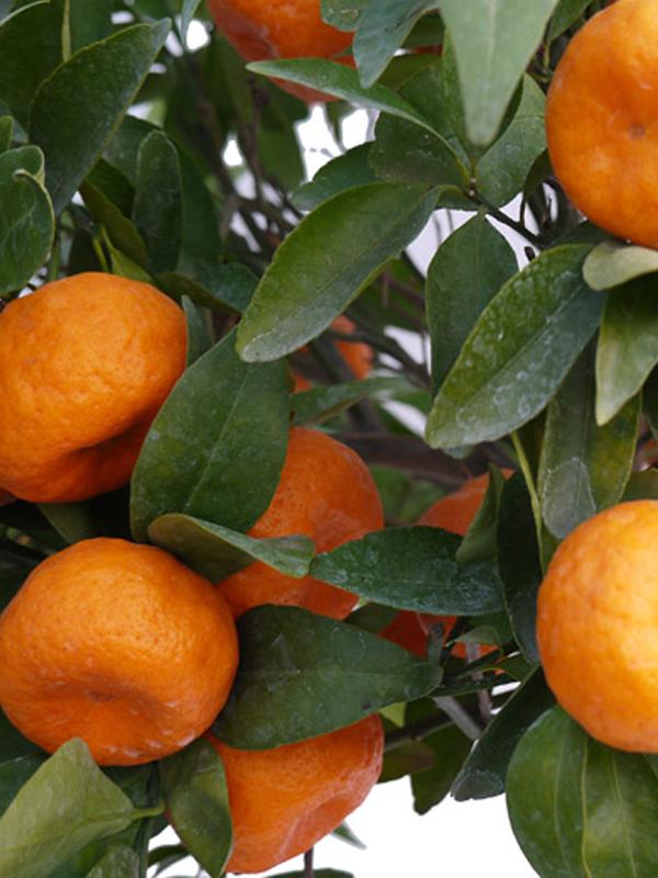 Mandarino Precoce