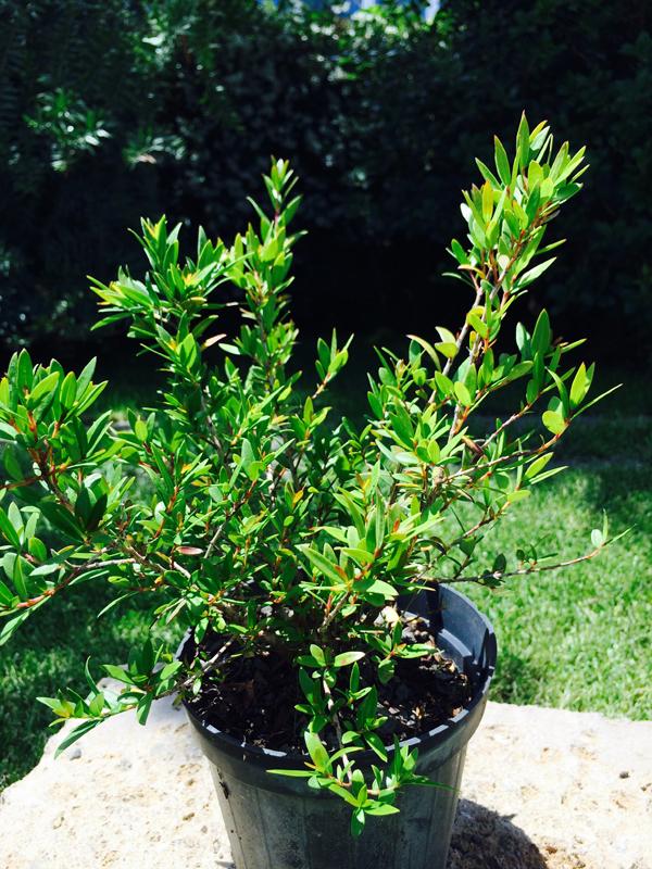 Mirto myrtus communis vendita online for Arbusti sempreverdi