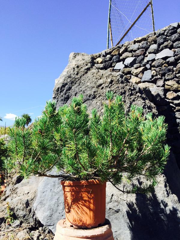 Pino Mugo (Pinus Mugo)