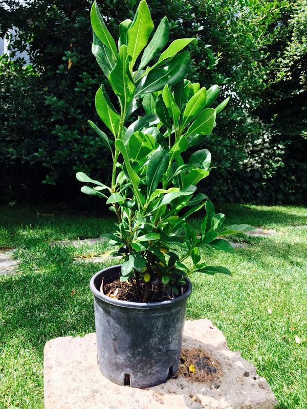 Pittosporo tobira pittosporum vendita online for Arbusti sempreverdi in vaso