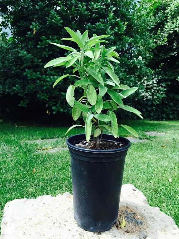 Salvia vendita online for Pianta pistacchio prezzo
