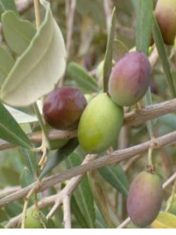Ulivo biancolilla vendita online for Vendita piante ulivo