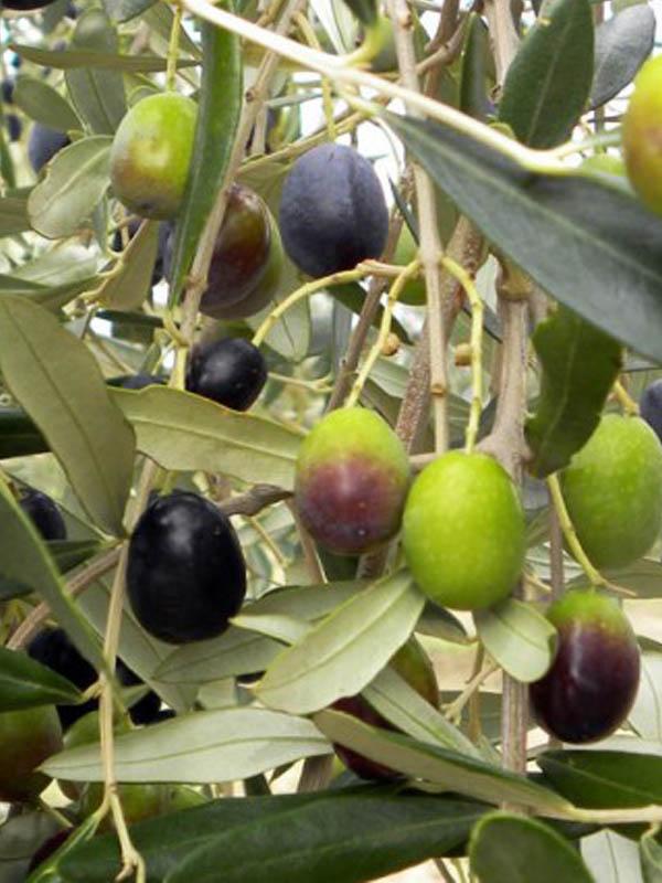 Piante Di Ulivo In Vendita : Ulivo frantoio vendita online ilpiantonaio