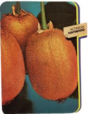 Actinidia Hayward (Kiwi)