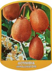 Actinidia Impollinatore (Kiwi)