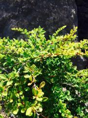 Berberis (Berberidaceae)