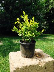 Bosso Buxus Rotundifolia
