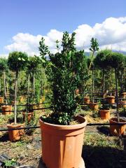 Bosso Buxus Sempervirens