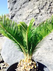 Cycas Palmizia