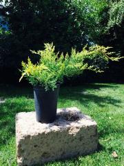 Ginepro (Juniperus)