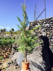 Ginepro Rosso (Juniperus)