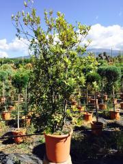 Leccio Cespuglio (Quercus Ilex)