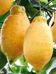Limone Lunario