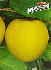 Mela Starkspur Golden Delicious