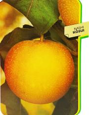 Nashi Kosui