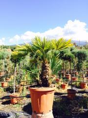 Palma Italiana