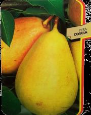 Pera Coscia