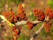 Pianta di pistacchio Maschio