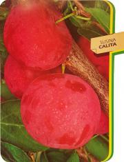 Susina Calita